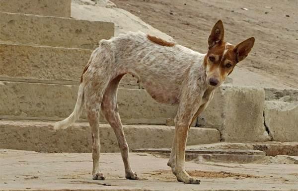 Бешенство-у-собак-первые-симптомы-и-признаки-профилактика-и-лечение-9