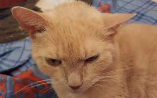 Ушной клещ (отодектоз) у кошек: симптомы и лечение