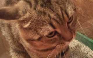 Цистит у кошек (кота): симптомы и лечение