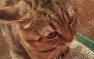 Понос у кошки: причины и лечение дома