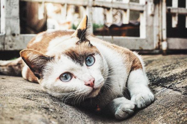 чума у кошек