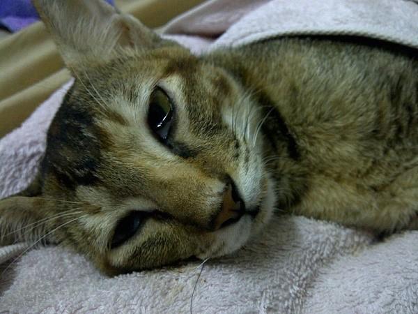 Слабость при данном заболевании характерна не только для маленьких котят, но также и для взрослых особей