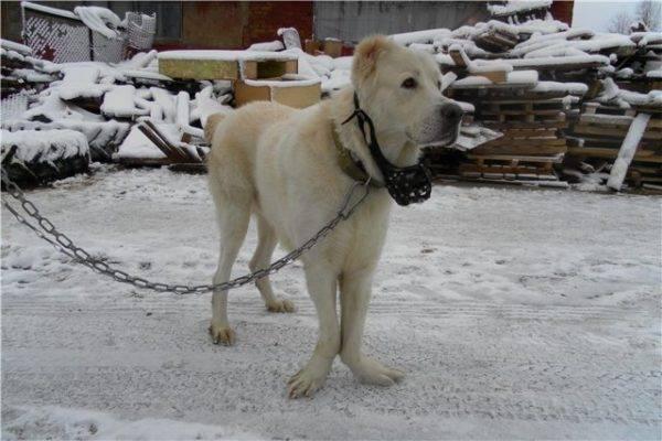 Дисплазия локтевого сустава у пса