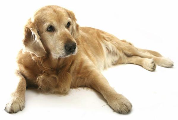 Дисплазия у собак признаки