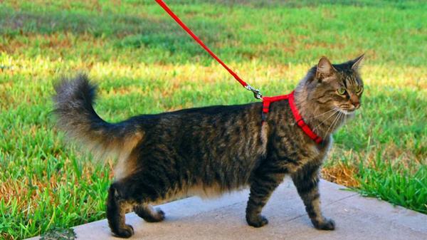 Если вы не выгуливаете свою кошку, то от ошейника можно отказаться или заменить его чипированием