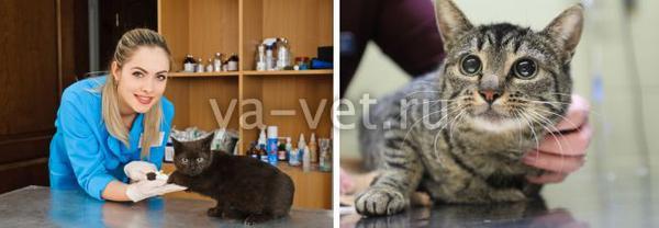 гастрит у кошек лечение