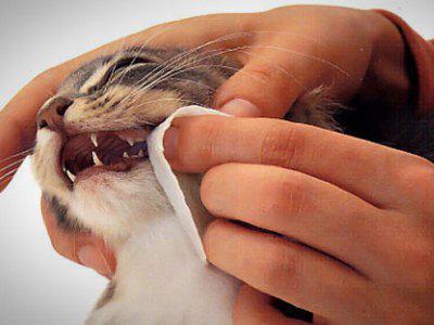 чистка зубов кошки