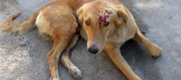 что делать, если рана у собаки