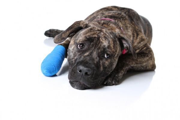 рана у собаки
