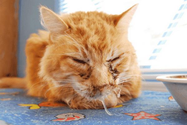 Хламидиоз у котов