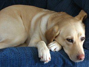 холецистит у собаки признаки