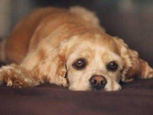 холецистит у собак симптомы