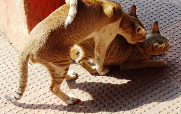 Спаривание кота и кошки