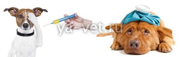 инфекционный гепатит собак