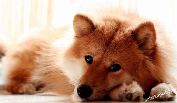 Профилактика гепатита у собак