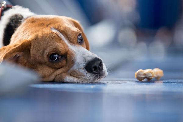 Лечение гепатита у собак