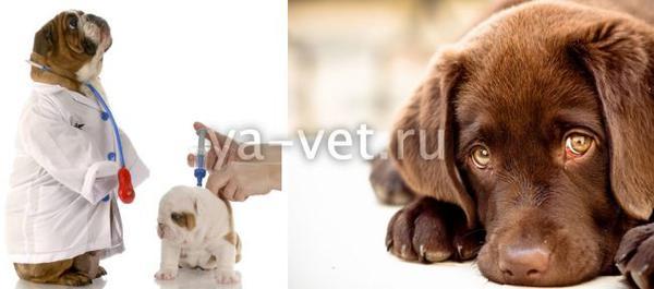 вирусный гепатит собак