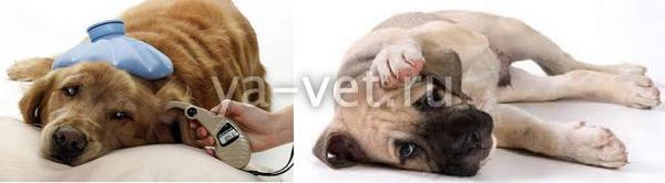 инфекционный гепатит у собаки симптомы