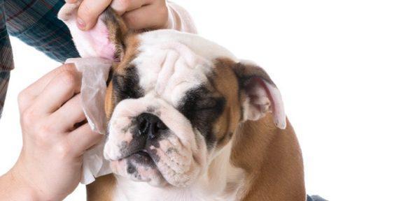Как правильно чистить уши питомцу?