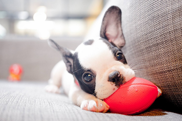как чистить уши собаке