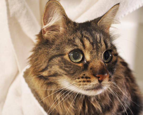 (МКБ) у котов симптомы лечение признаки