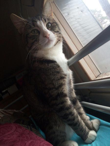 Что делать, если потерялся домашний кот. Кот, Совет, Потеряшка, Длиннопост
