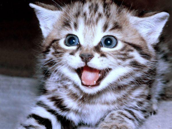 Чтобы быстрее достучаться до хозяина, коты имитируют интонации плачущего новорожденного