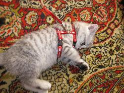 Приучаем маленького котенка к шлейке