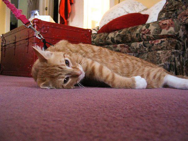 Взрослые коты привыкают к шлейке дольше