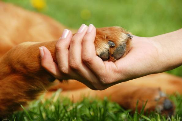 рана при подстригании когтей у собаки