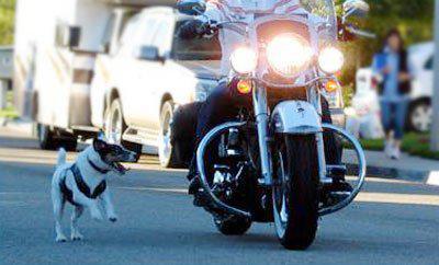 пёс бежит за мотоциклом