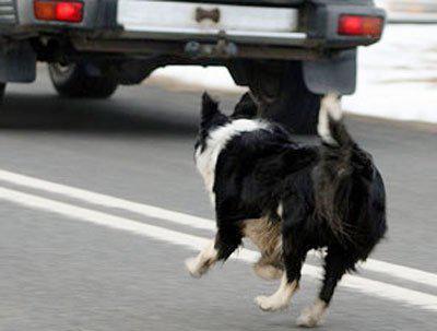 пёс выбежал на дорогу