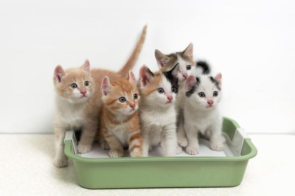 приучить котёнка к лотку