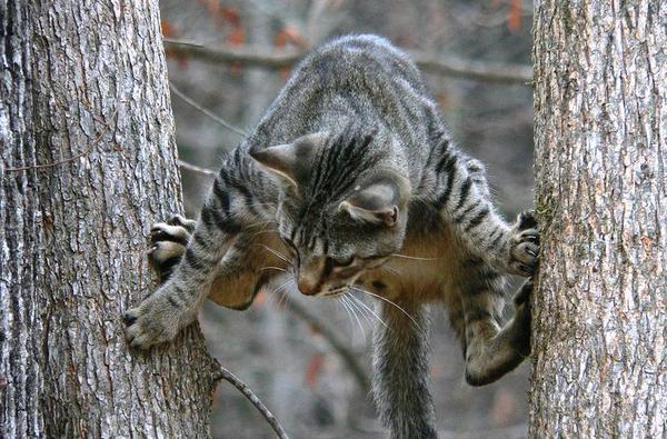 Взрослая кошка сама спускается с дерева вот таким необычным способом
