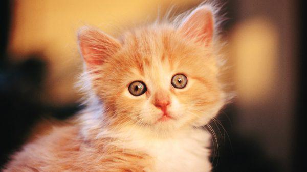 Рыжий котёнок смотрит в камеру