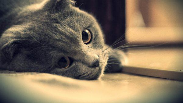 Серый грустный кот положил голову на стол