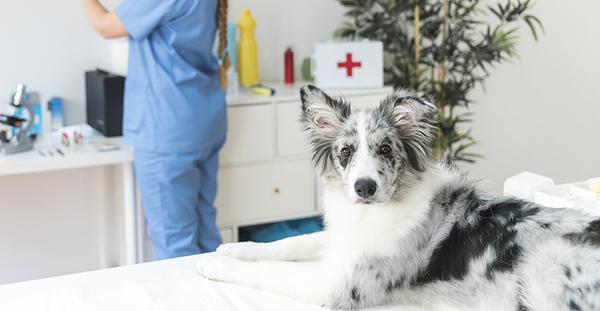 Вакцинация щенков и взрослых собак: правила, график прививок