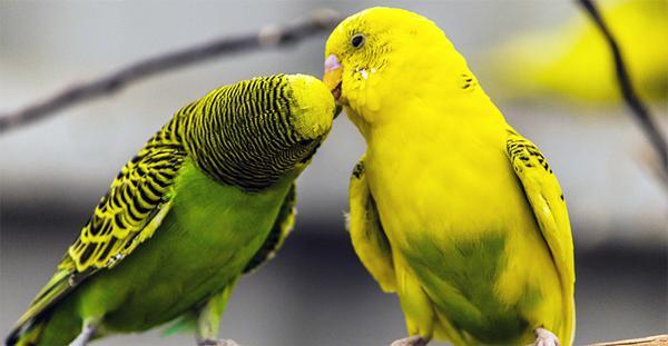 Как различить пол попугая: практические методы