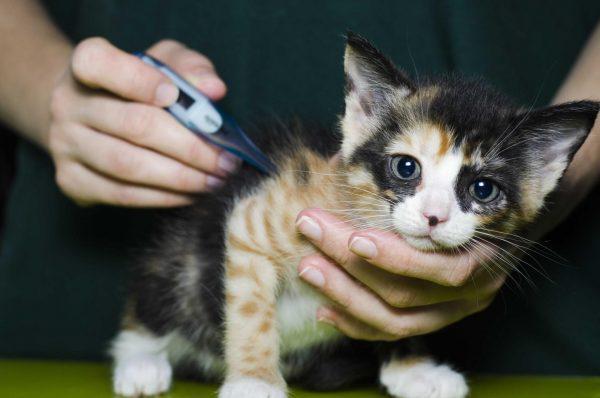 Котёнку измеряют температуру