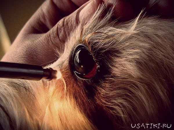 кератит у собаки - лечение