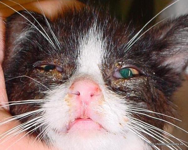 Гнойный конъюнктивит у котенка
