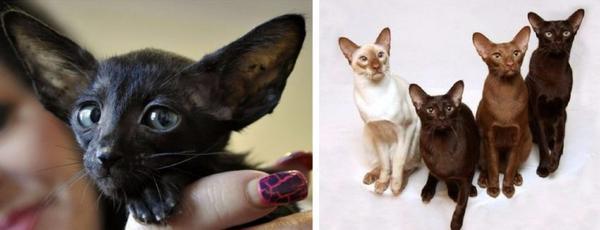 породы кошек, склонные к неврозам