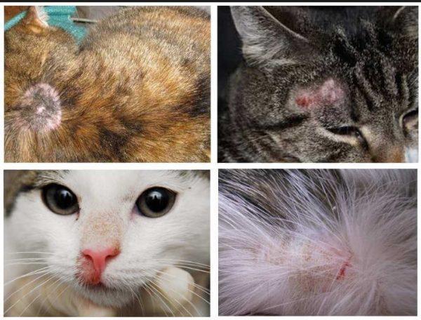 Если животное чешется по причине сильного зуда, то острыми когтями повреждает кожу, занося инфекцию