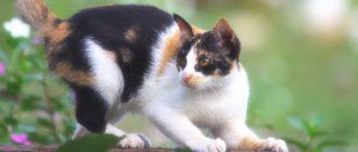 Кот чешет уши: причины и лечение
