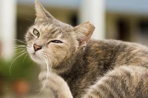 кот расчесывает уши