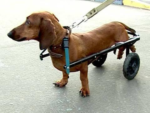 Специальное удерживающее устройство при параличе задних лап