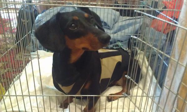 Замкнутое пространство для собаки - прямой путь к дископатии