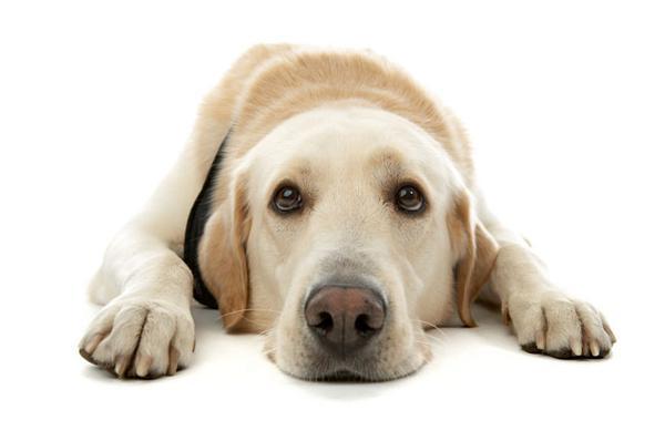 чума у собак