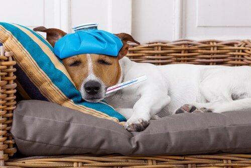 Снижение лихорадки у собаки со льдом