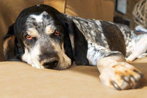 Апатия от лихорадки у собаки